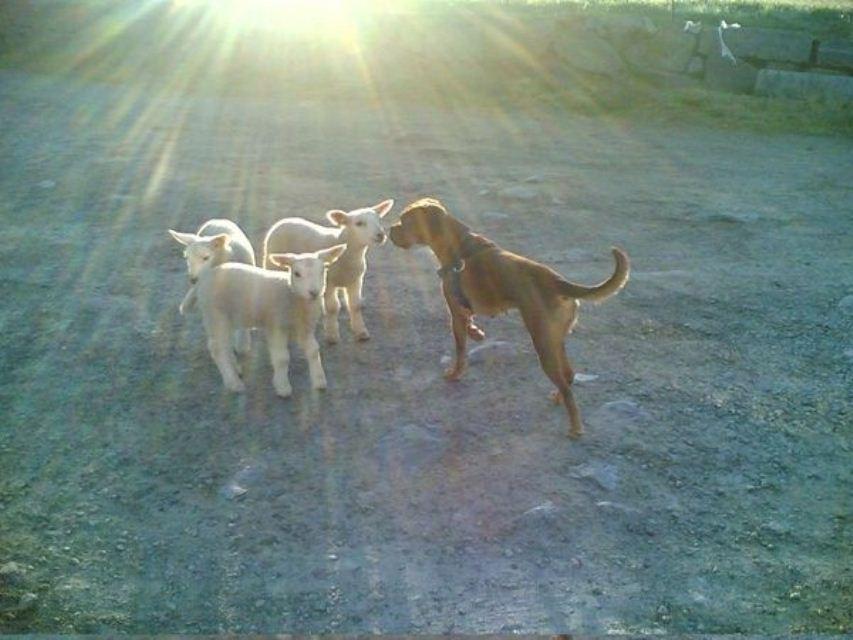 Bilde ab hund og lam
